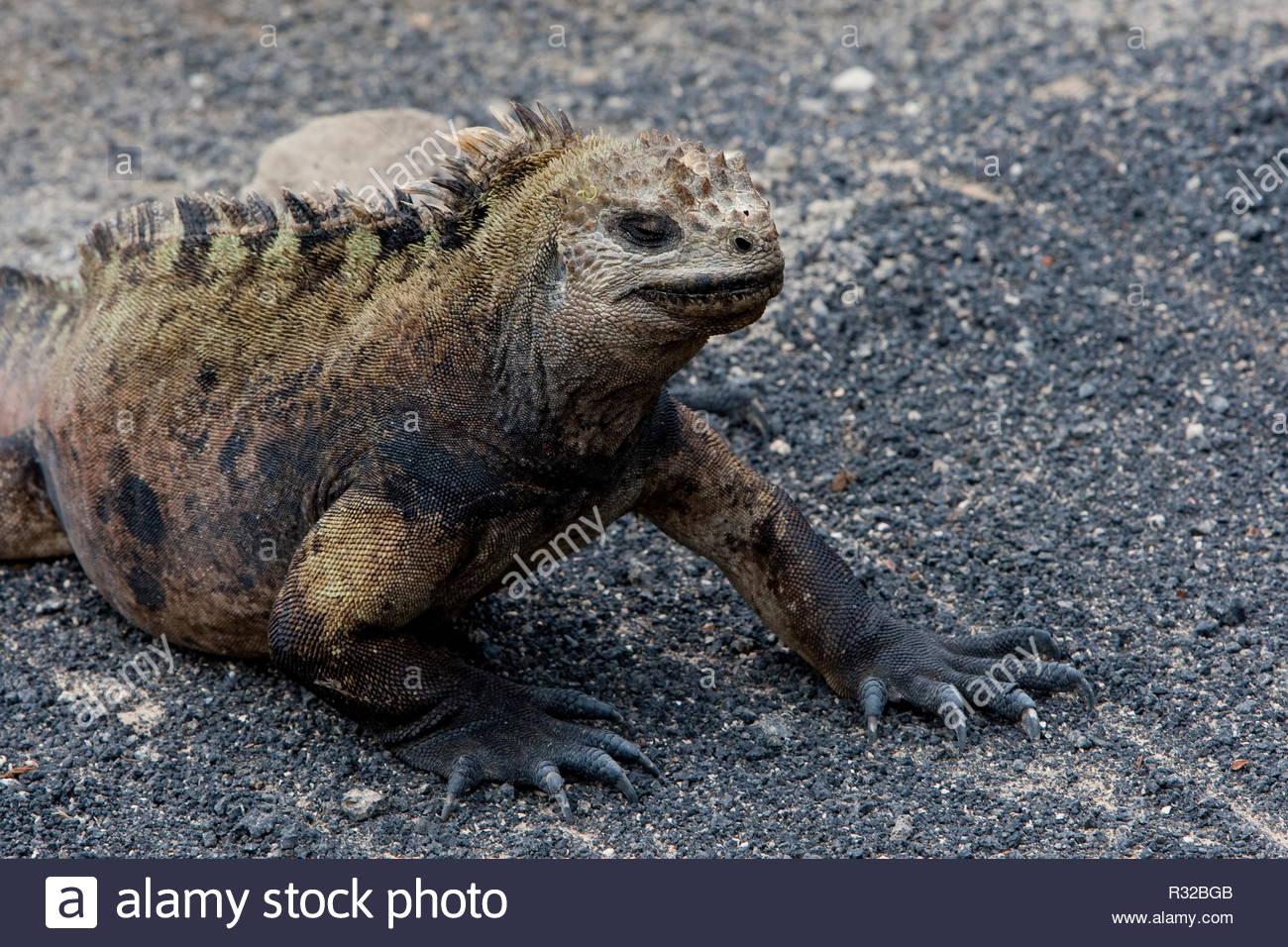 Lizard taken at Galapagos - Stock Image