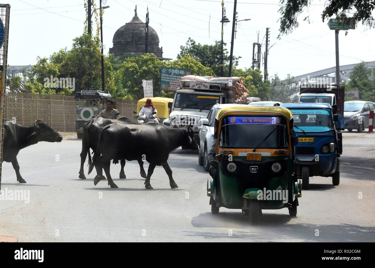 Cattle wander among traffic in a busy Rajasthan road. - Stock Image