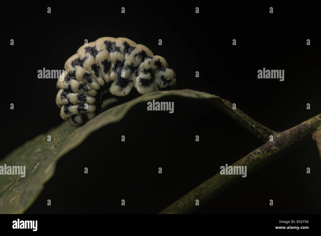 A beetle grub of some sort from Madre de Dios, Peru.  Beetles are one of the most diverse groups of life, and this one remains a mystery. - Stock Image
