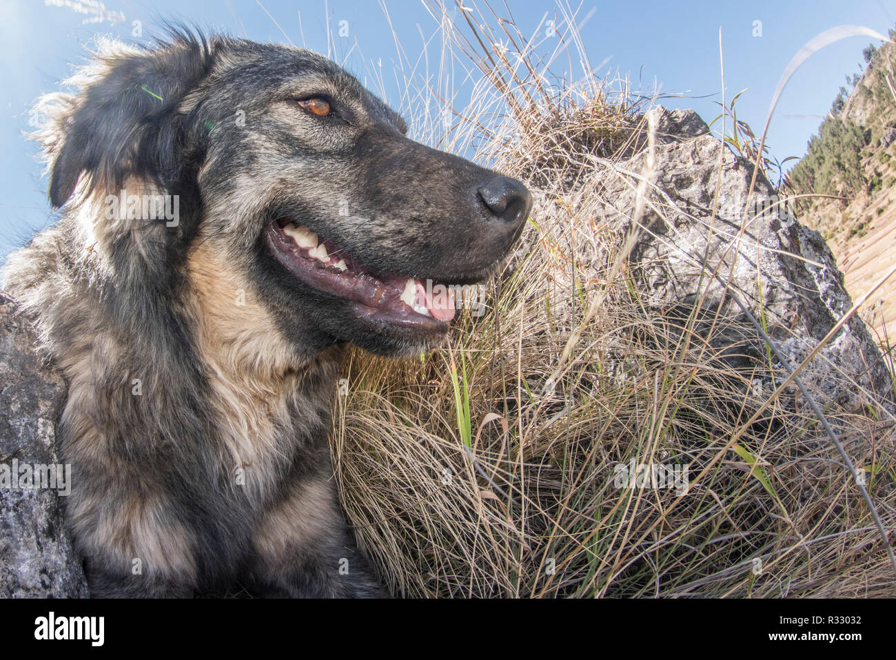 A dog trying to beat the heat by resting in the shade high up in the Andes mountains outside of Cusco. - Stock Image