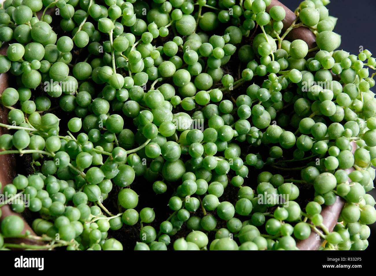string of pearls, Senecio Rowleyanus Rosary Vine, Bead plant Stock Photo