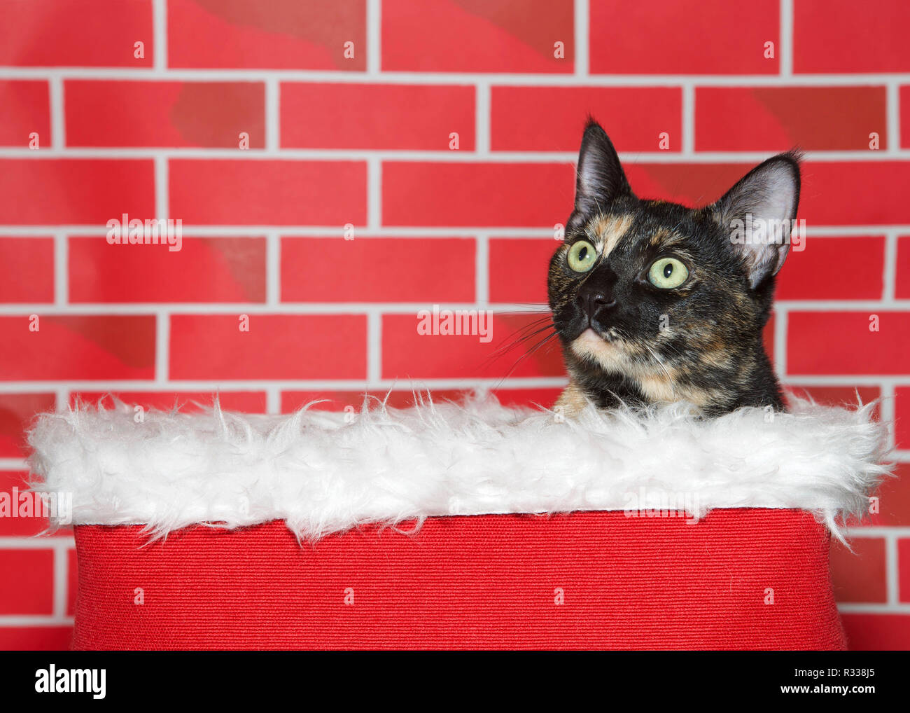 Portrait of an adorable tortie torbie tabby kitten sitting in a white fur lined red basket, looking up to viewers left. Bright red brick background. F Stock Photo