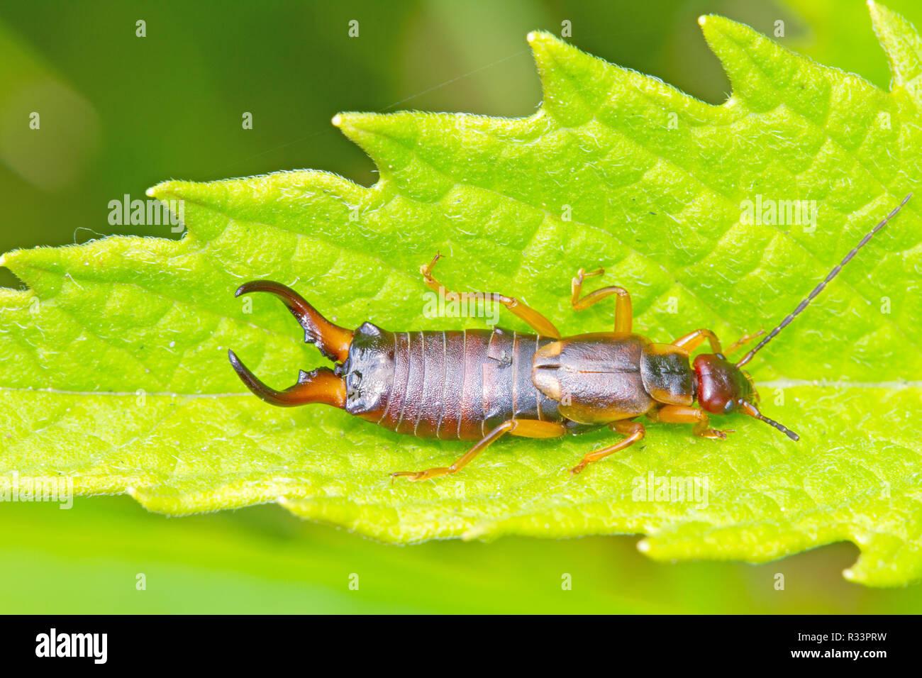 common earwig - Stock Image