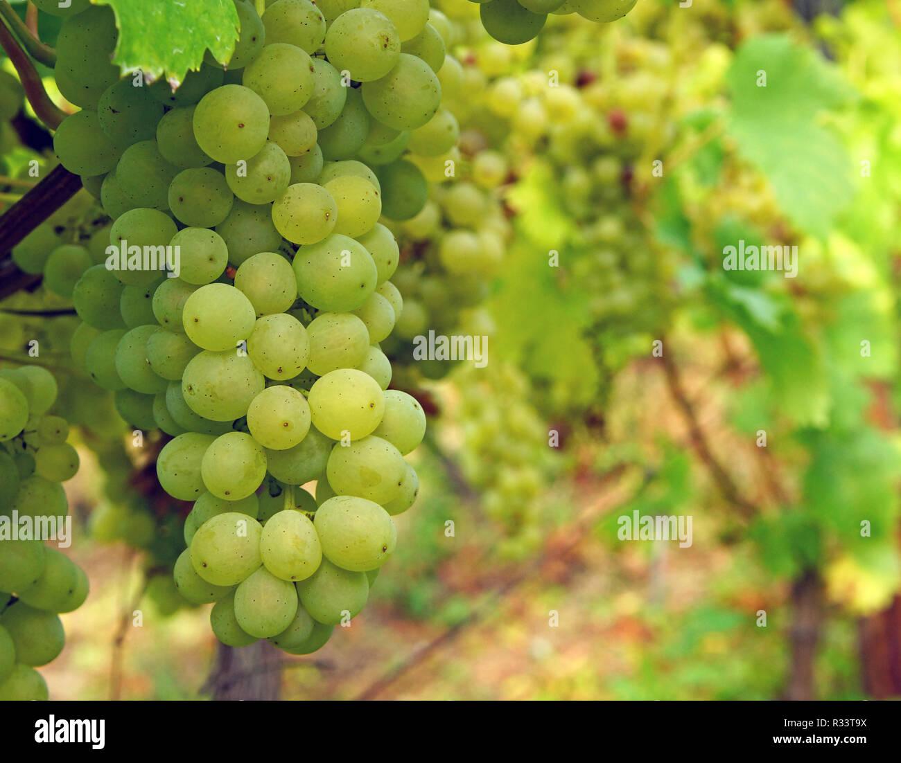 white wine - white wine Stock Photo
