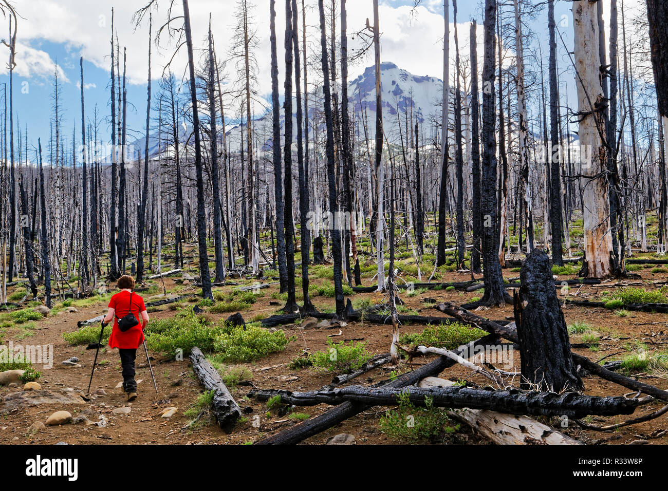 42,880.02506 woman hiking in stark horrible blackened burned out bare trees remaining after a major conifer tree U.S. National Forest fire wildfire - Stock Image