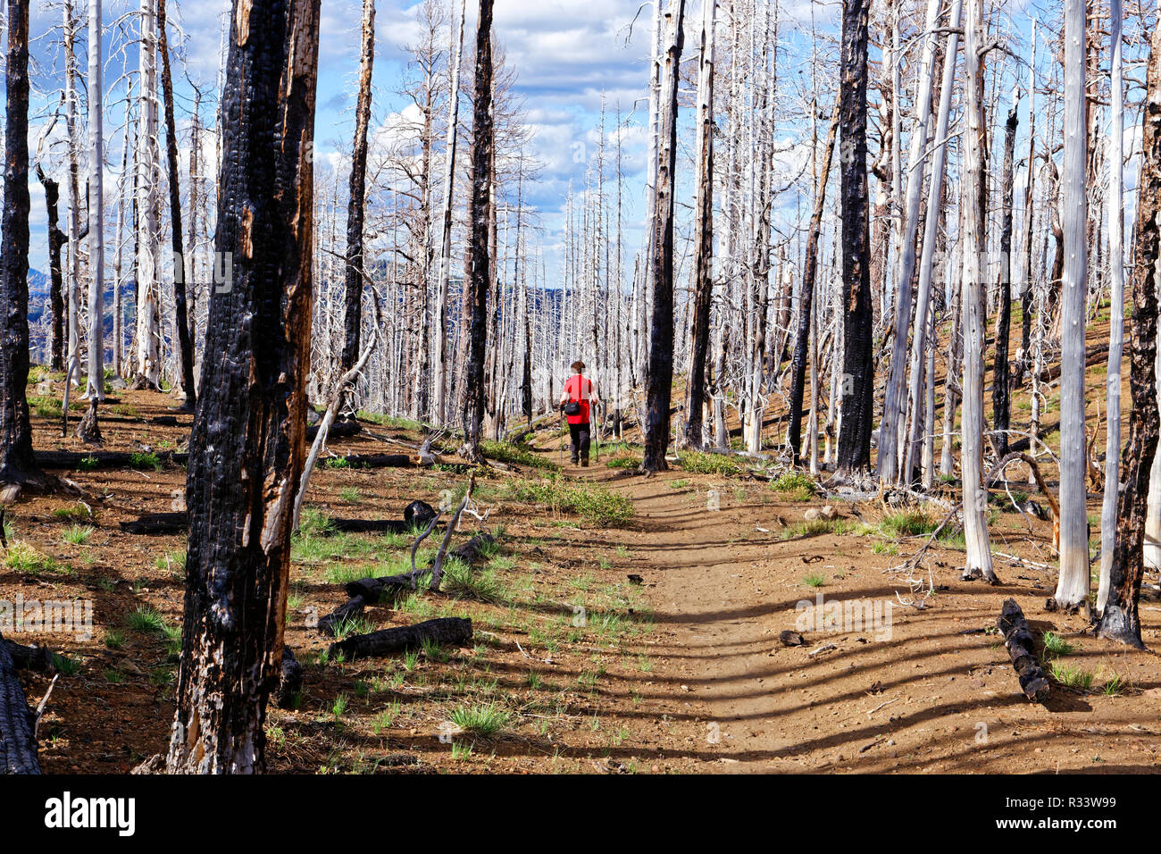 42,880.02531 woman hiking in stark blackened burned out bare trees remaining after a major conifer tree U.S. National Forest fire wildfire - Stock Image