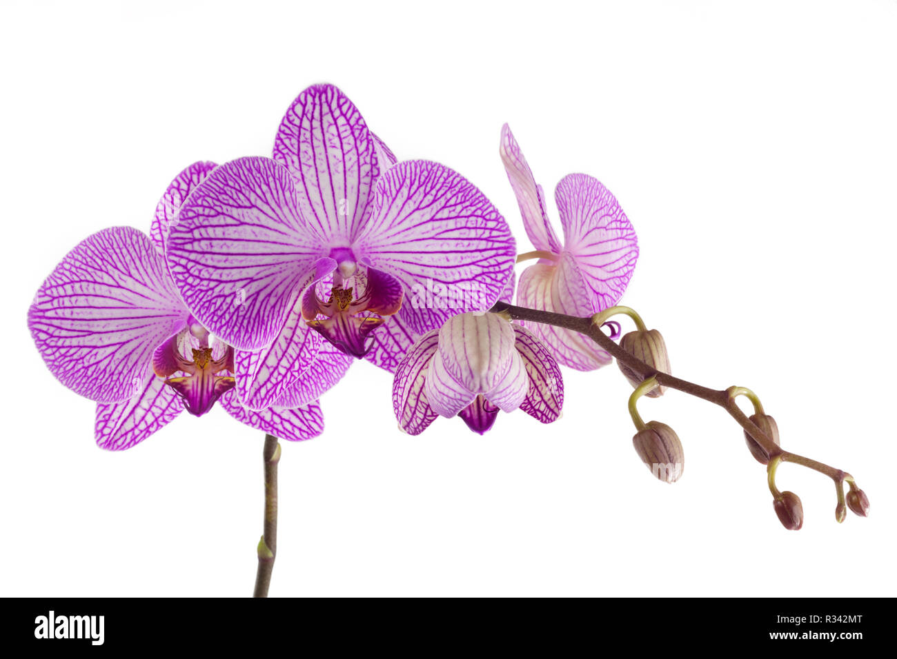 magenta orchid Stock Photo