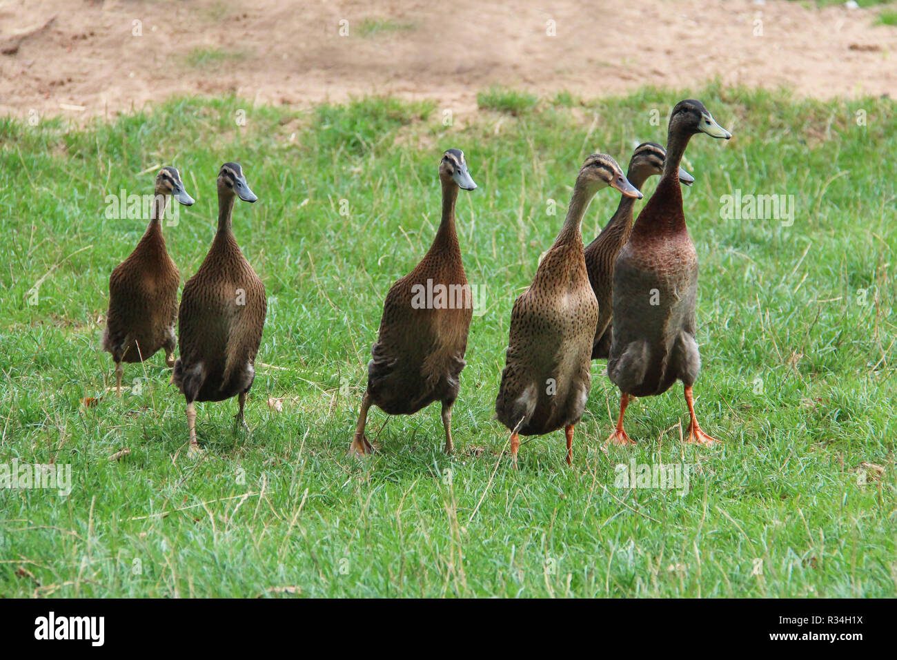 Indian Runners are a breed of Anas platyrhynchos domesticus, the domestic duck - Stock Image