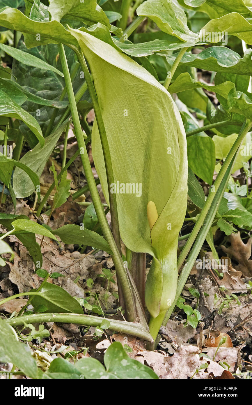 inflorescence, (spathe) and foliage of italian arum - Stock Image