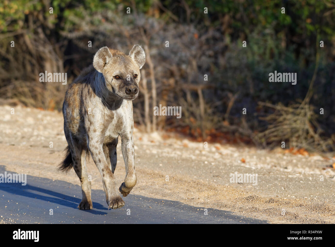 Spotted hyena or Laughing hyena (Crocuta crocuta), adult female running along a tarred road, in the morning light, Kruger National Park, South Africa Stock Photo