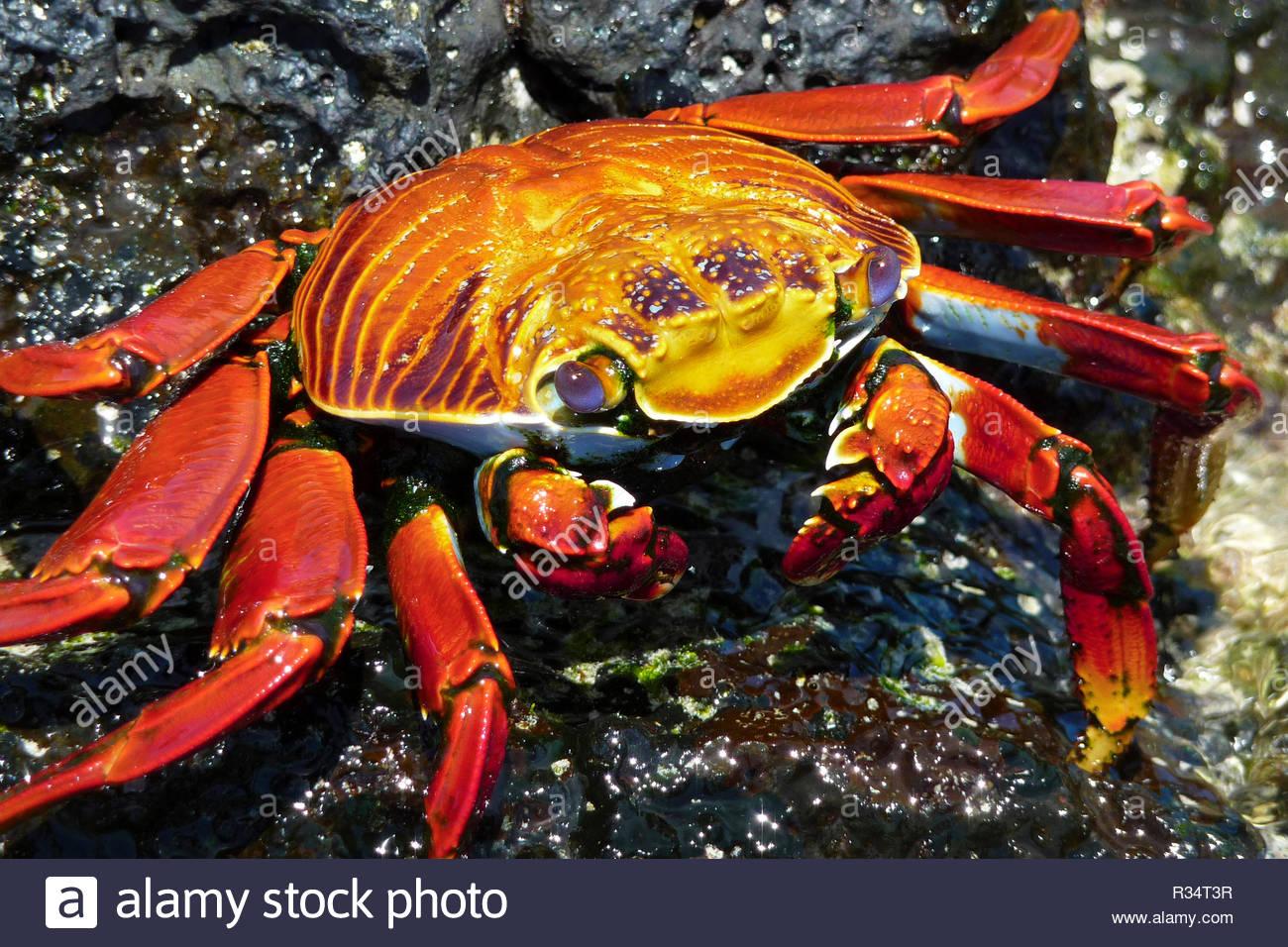 Sally lightfoot crab (Grapsus grapsus), North Seymour Island, Galapagos Islands, Ecuador - Stock Image
