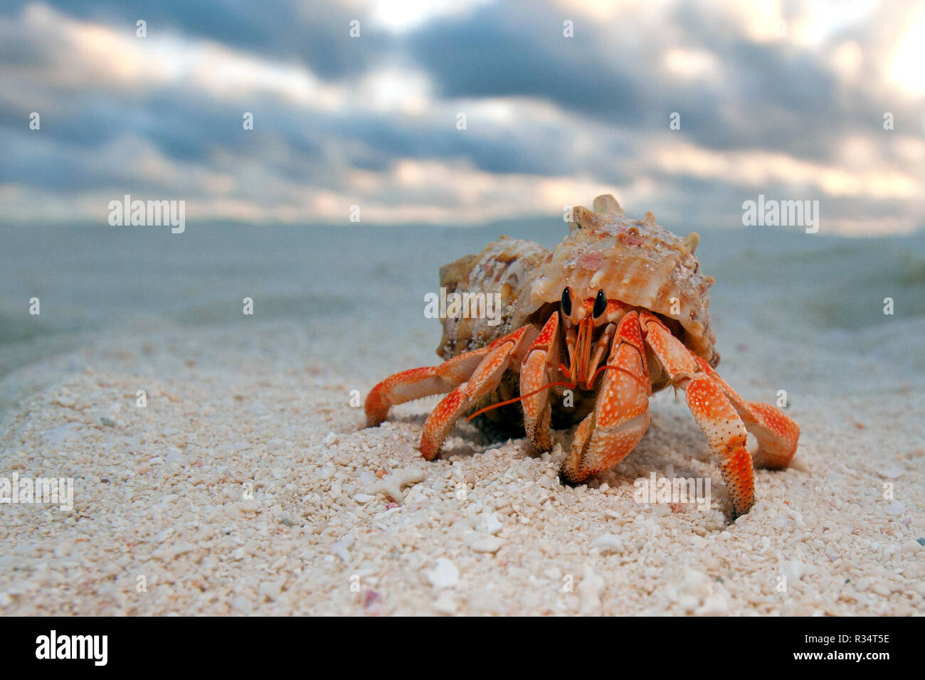 Land Hermit crab or Strawberry Land Hermit Crab (Coenobita perlatus) at the beach, Ari Atoll, Maldive islands - Stock Image