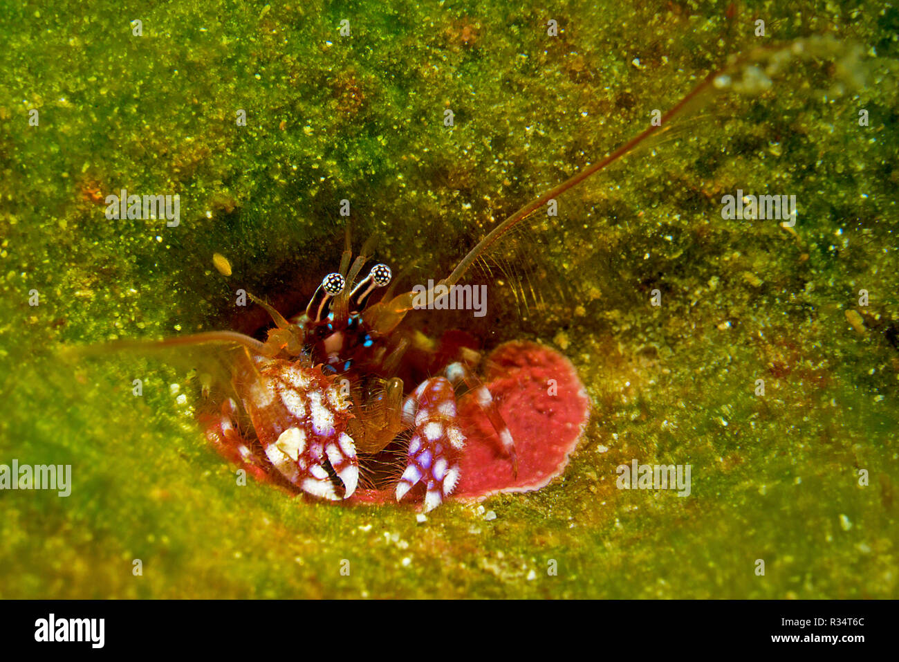 Coral hermit crab or Tube-Dwelling (Paguritta harmsi), lives in holes of hard corals, Russel islands, Solomon islands Stock Photo