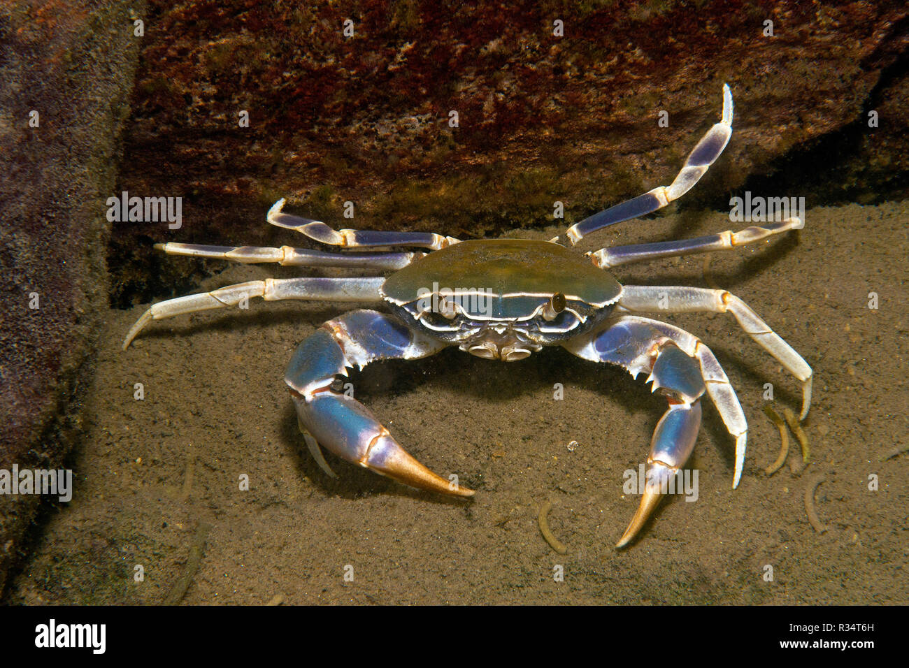 Malawi blue crab (Potamonautes orbitospinus), endemic in Malawi lake, Malawi, East Africa, Africa - Stock Image