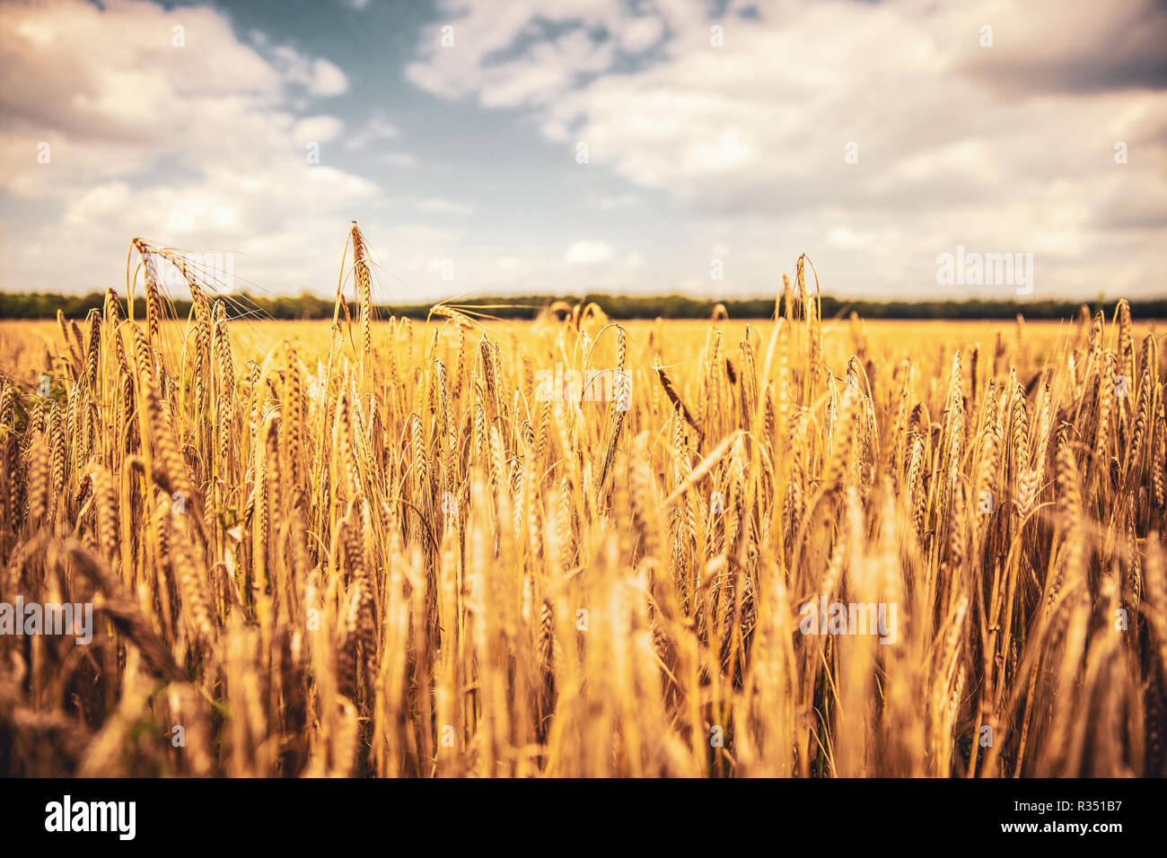 ears of corn in hot summer sunlight - Stock Image