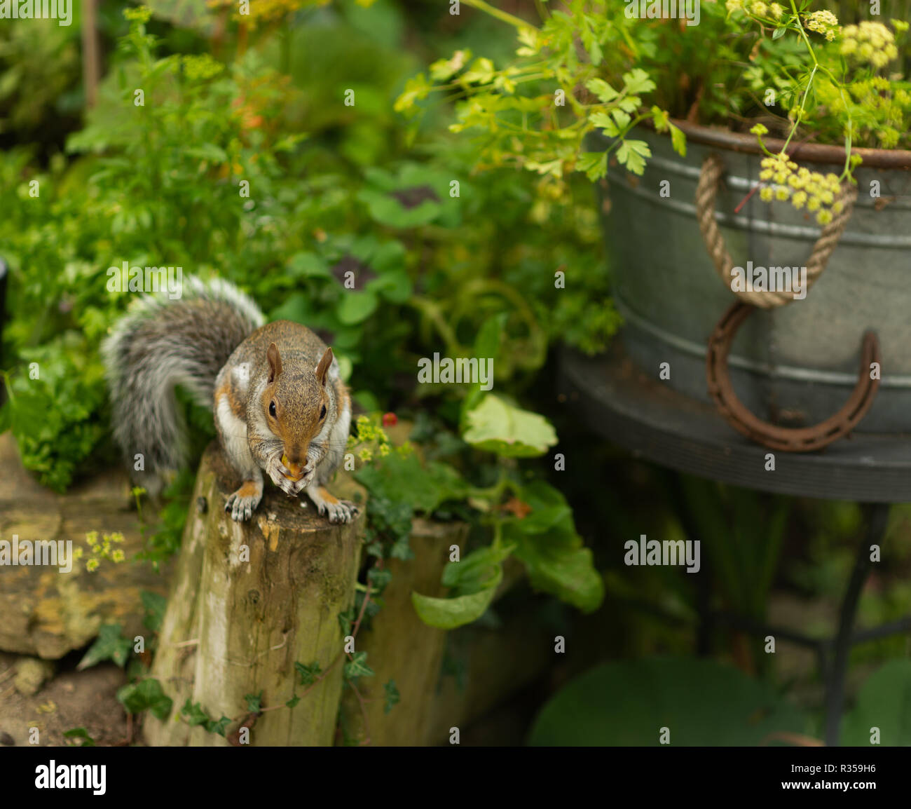 Fluffed up, plump, Grey squirrel sitting eating in a domestic garden beside a galvanised tub filled with parsley against a background of other herbs. - Stock Image