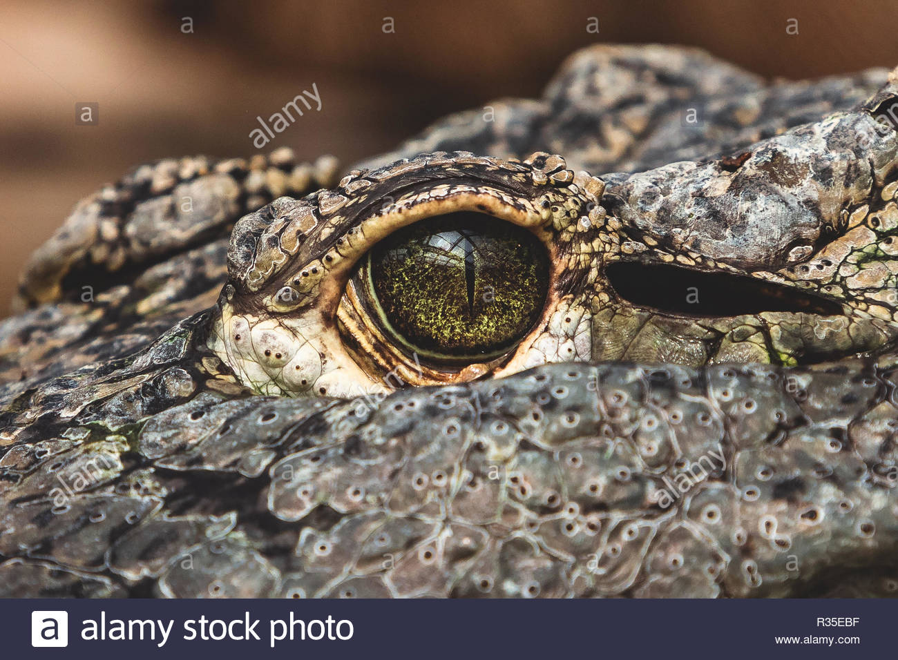 Alligator has a long armored body with thick scales or bony plates called osteoderms or scutes, When the alligator slips under the water, its nostrils Stock Photo
