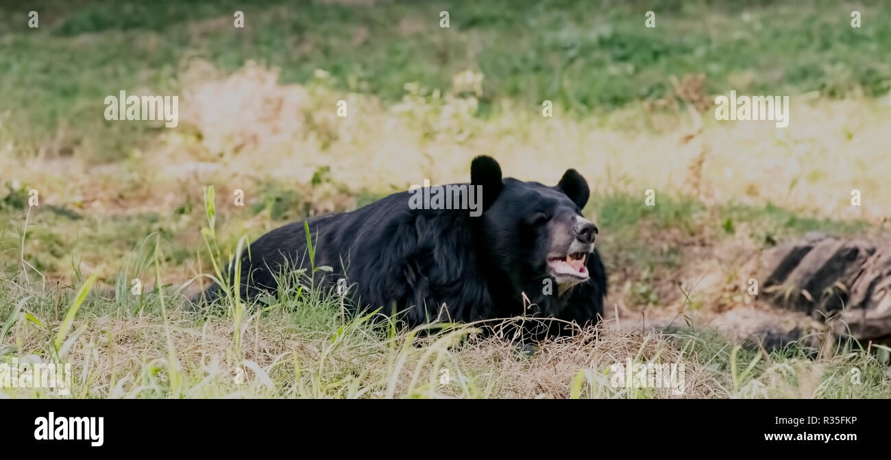 Himalayan black bear,found,resting in open,New Delhi Zoo,National Capital Region,India. - Stock Image