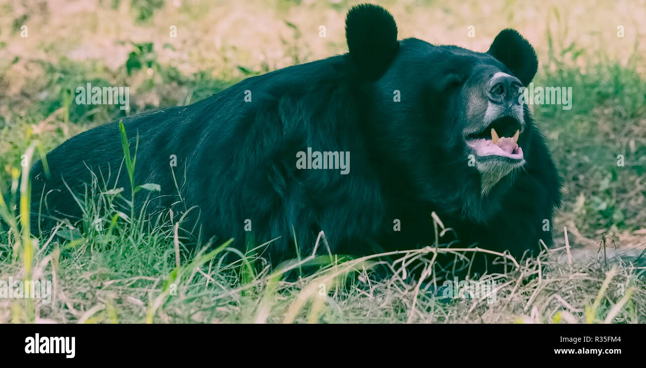 Zoo animal,Himalayan Black Bear,resting,in open ground,New Delhi zoo,National Capital Region,India. - Stock Image