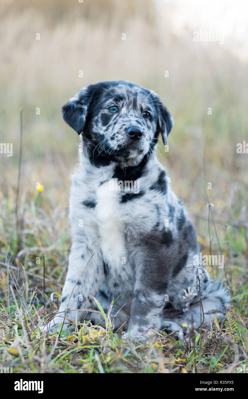 Dog With Unusual Eyes High Resolution Stock Photography And Images Alamy