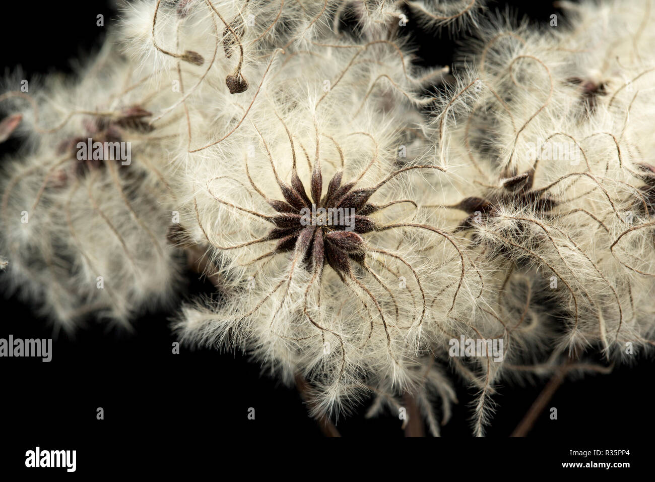 The seeds of Traveller's-Joy, or Old Man's Beard, Clematis vitalba, photographed on a black background in a studio. Dorset England UK GB - Stock Image