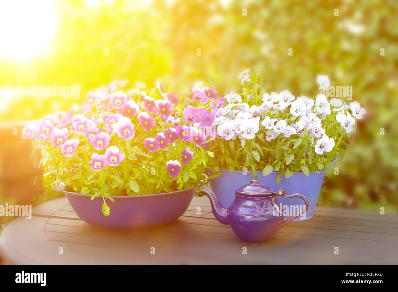 Purple, violet and blue pansy flowers in 3 different pots on a balcony table in bright sunlight, copy space, background template Stock Photo
