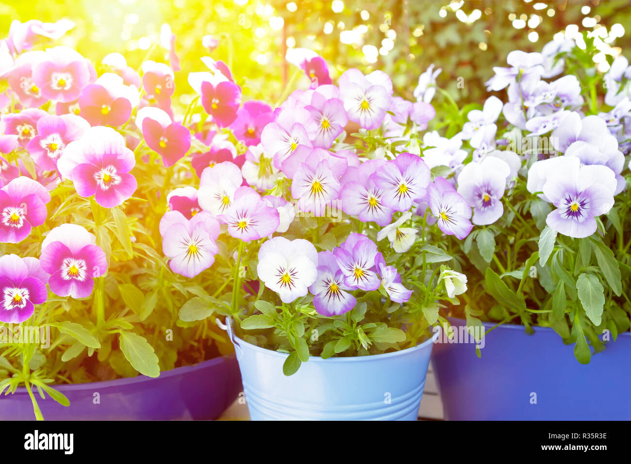 Purple, violet and blue pansy flowers in 3 different pots on a balcony table in bright spring sunlight, background template Stock Photo