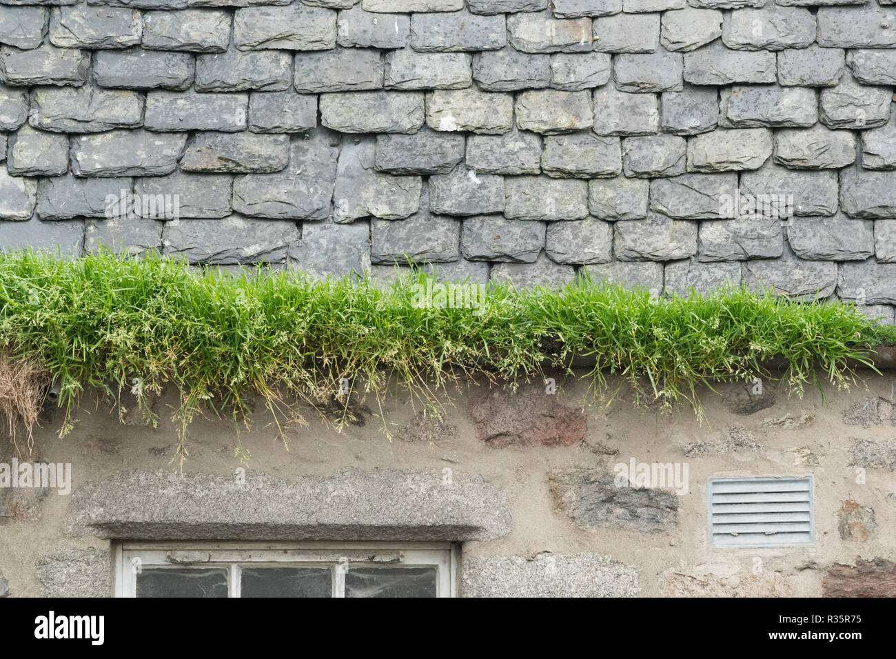grass growing in guttering due to lack of maintenance - Scotland, UK - Stock Image