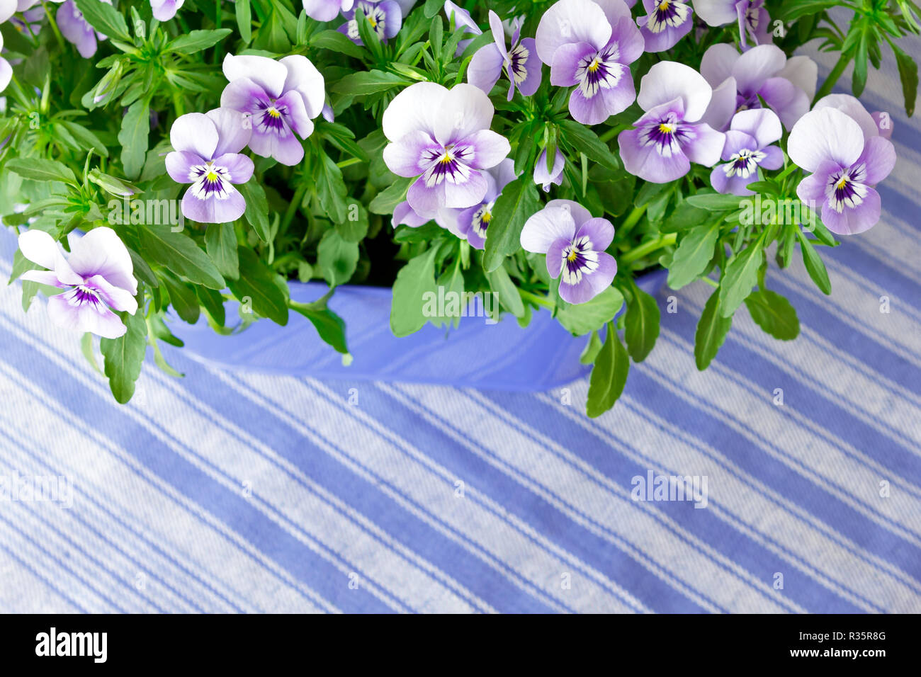 Pansy plants with lots of flowers in shades of lilac, violet and blue against a blue striped background, copy or text space Stock Photo