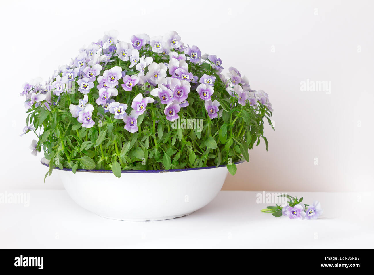 Pansy flowers in shades of lilac, violet and blue in a vintage wash basin or bowl on white background, copy or text space Stock Photo