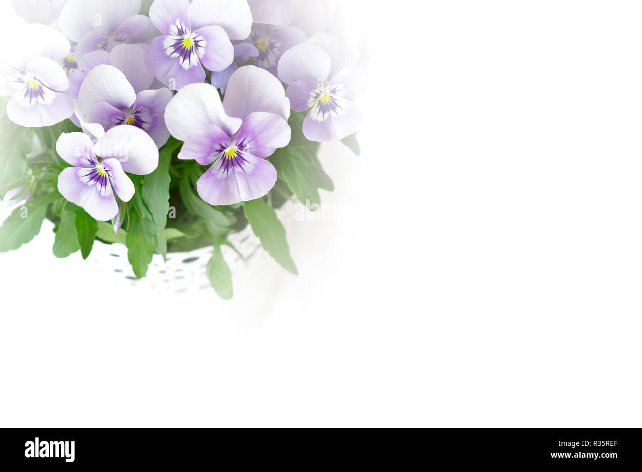 Pansy flowers in shades of lilac, pink and purple against white, nostalgic and romantic background template with copy space Stock Photo