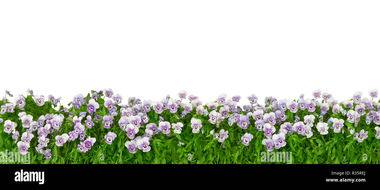 Border of pansy plants with flowers in shades of violet, lilac and blue in panorama format, isolated on white, background template - Stock Image