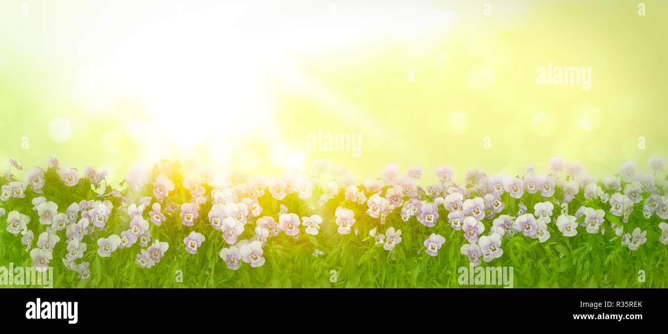 Border of pansy plants with flowers in shades of violet, lilac and blue on a sunny spring morning, panorama format, copy space - Stock Image