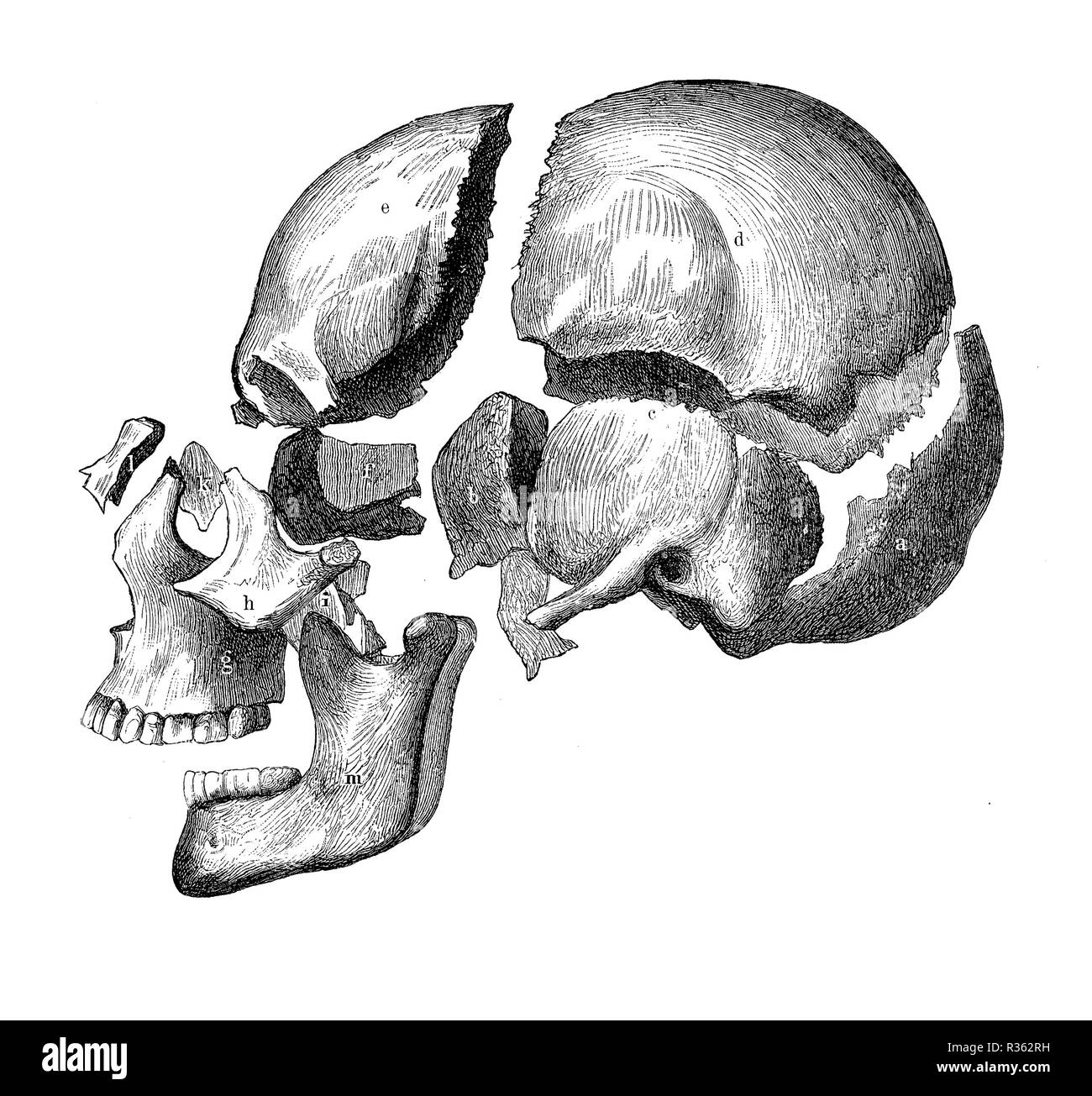 Vintage illustration of anatomy, skull with jaw and teeth, bone decomposition view - Stock Image