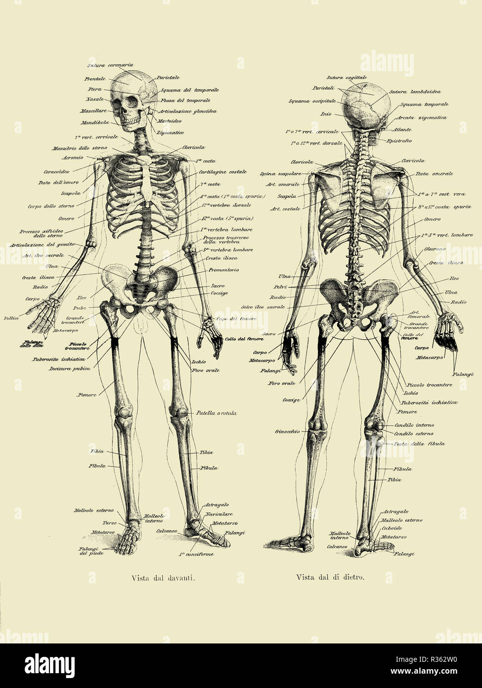 Vintage illustration of anatomy, human complete bone skeletal structure front and back with Italian anatomical descriptions - Stock Image
