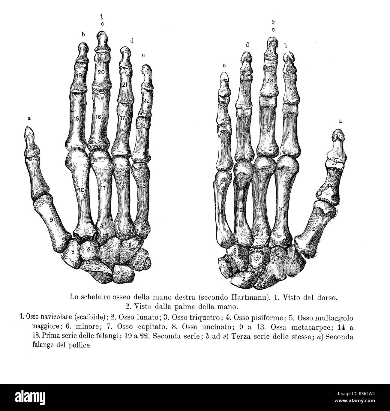 Vintage illustration of anatomy, right hand bones, back and palm view with Italian anatomical descriptions - Stock Image