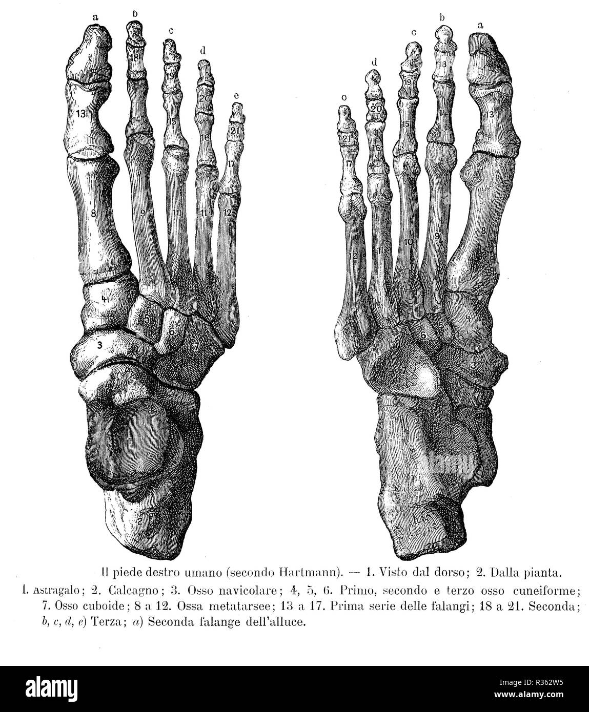 Vintage illustration of anatomy, right foot bones, dorsalis and sole view with Italian anatomical descriptions - Stock Image