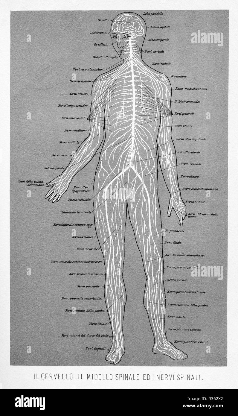 Vintage illustration of anatomy, human brain, spinal cord and spinal nerves  with Italian anatomical descriptions - Stock Image