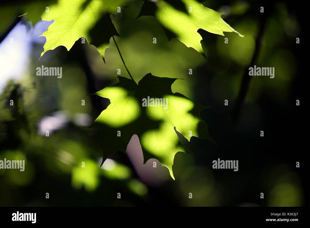Sun dappled leaves, Inwood Hill Park, Manhattan New York City - Stock Image