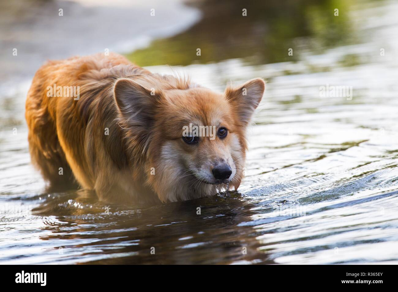 beautiful corgi fluffy close up portrait at the outdoor. Summer - Stock Image