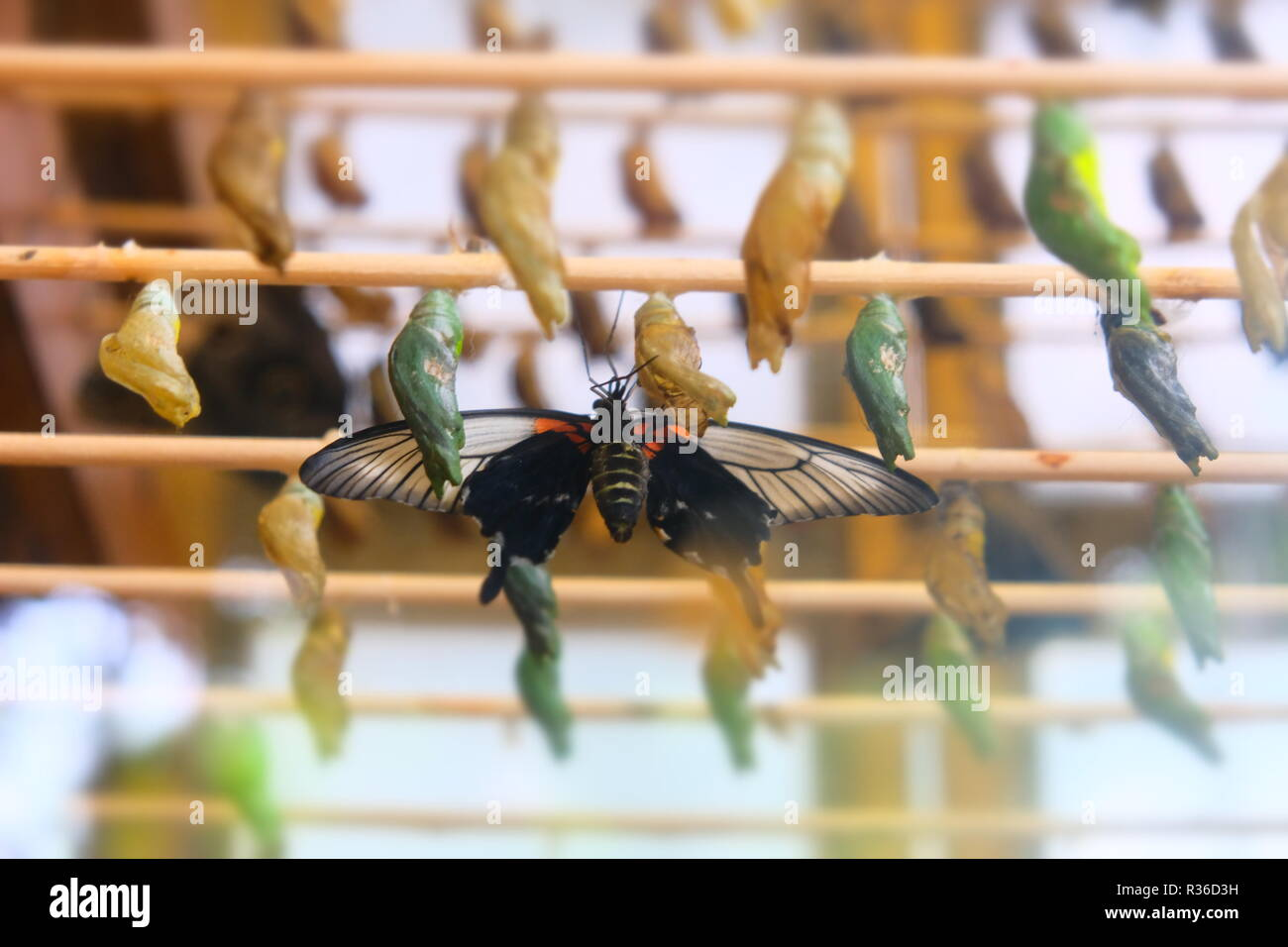Butterfly and cocoons at Twycross Zoo - Stock Image