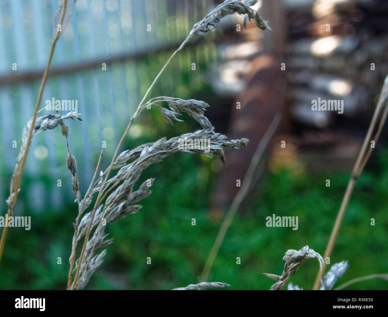 wild grass on a rural area in summer, Russia - Stock Image