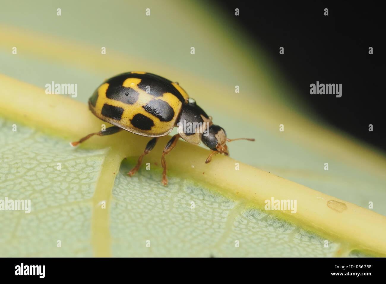 14 Spot Ladybird Propylea Quattuordecimpunctata Crawling Along