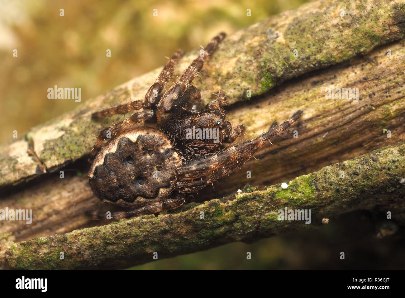 Walnut Orb-weaver spider (Nuctenea umbratica) resting on branch of tree. Tipperary, Ireland - Stock Image