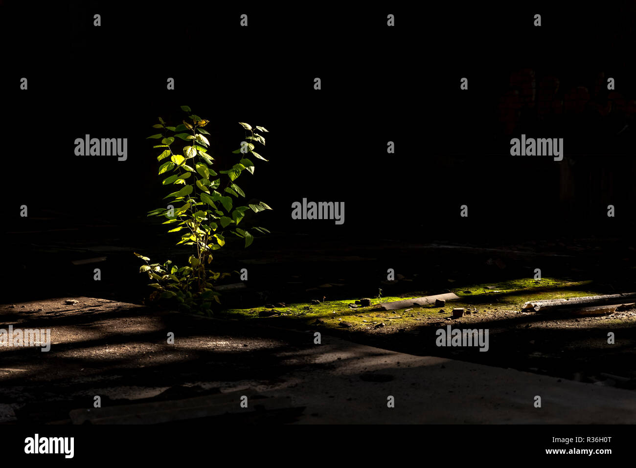 Spontaneous young plant growing under sunrays filtered in inside abandoned factory - Stock Image