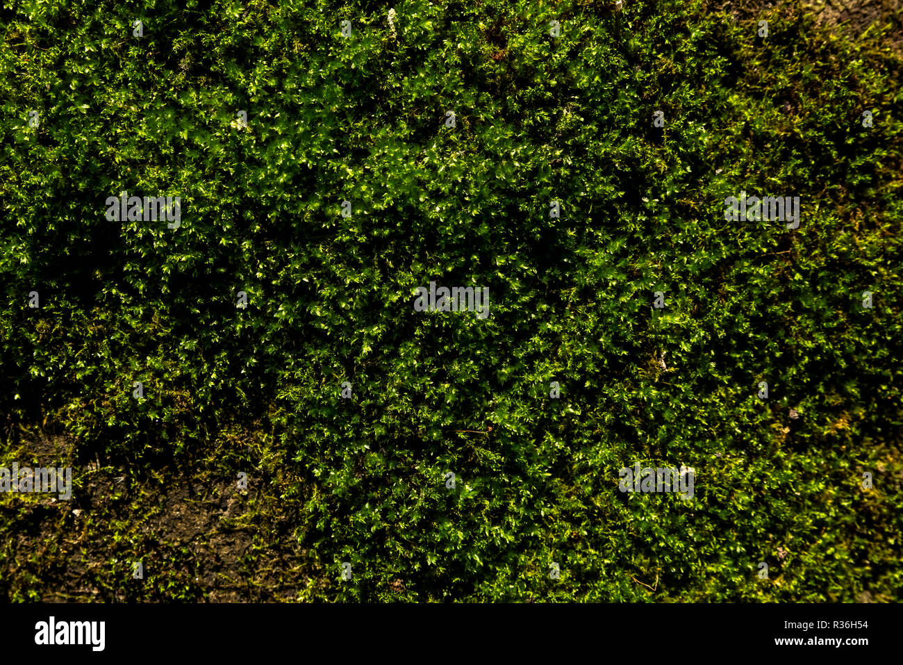 spontaneous growth of moss - Stock Image