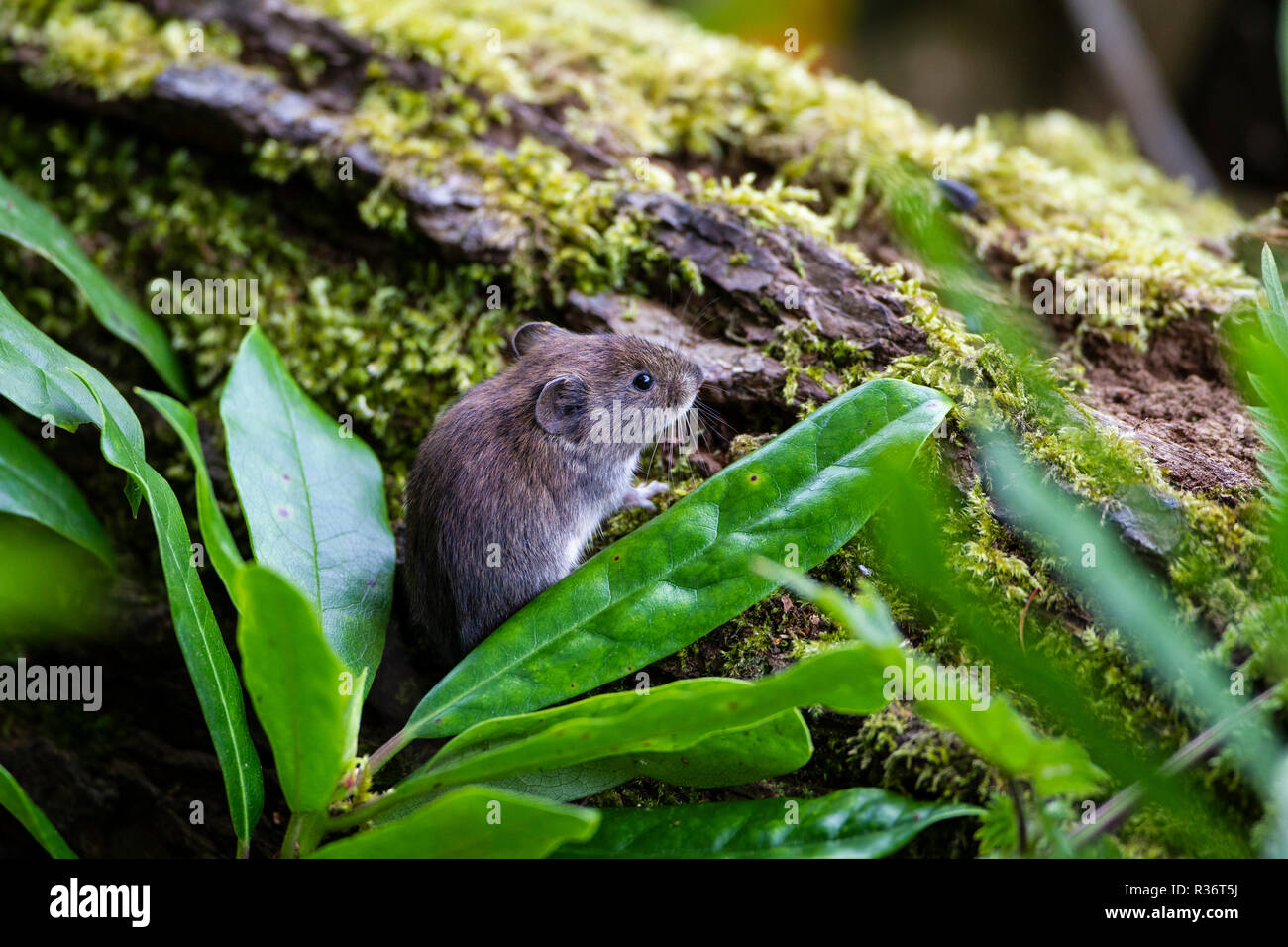 Cheeky bank vole Myodes glareolus peeping out of greenery adjacent to a moss covered log - Stock Image