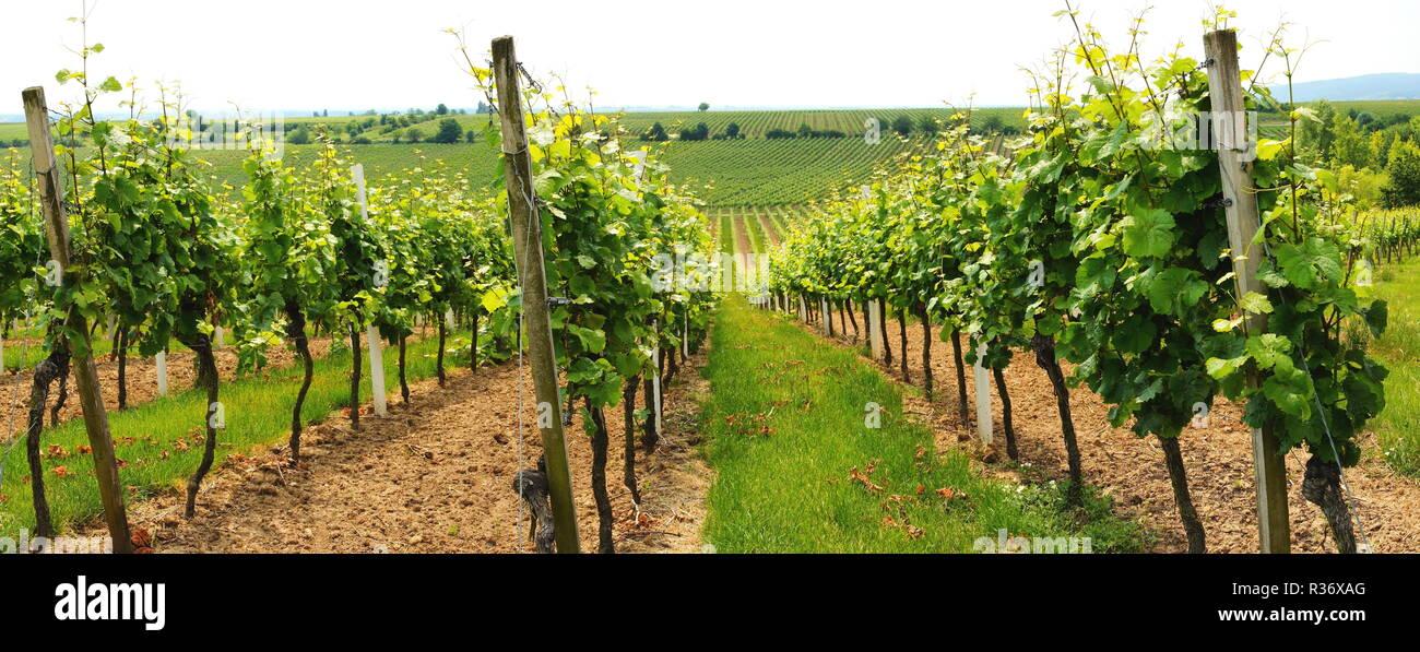 vineyard near herxheim panoramarn Stock Photo