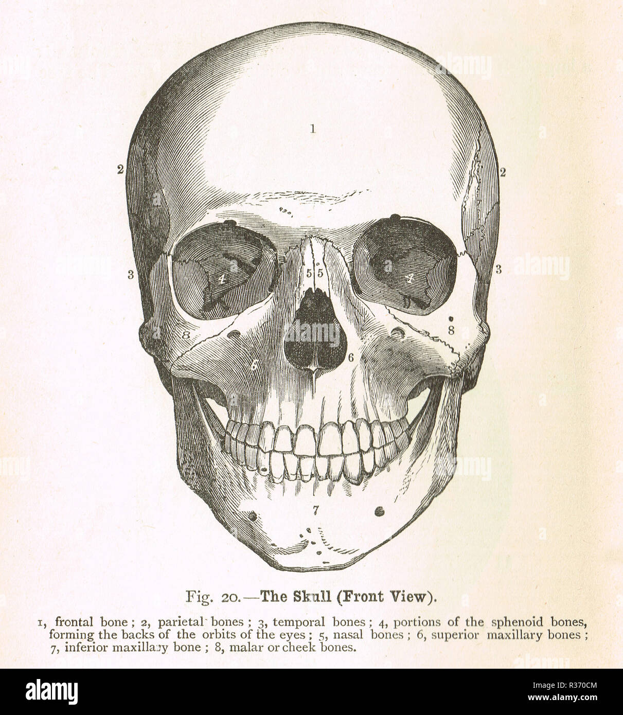 Human Skull Front View A 19th Century Illustration Stock Photo