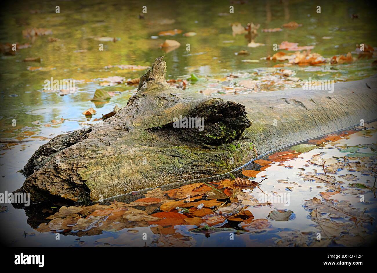 crocodile wood - Stock Image